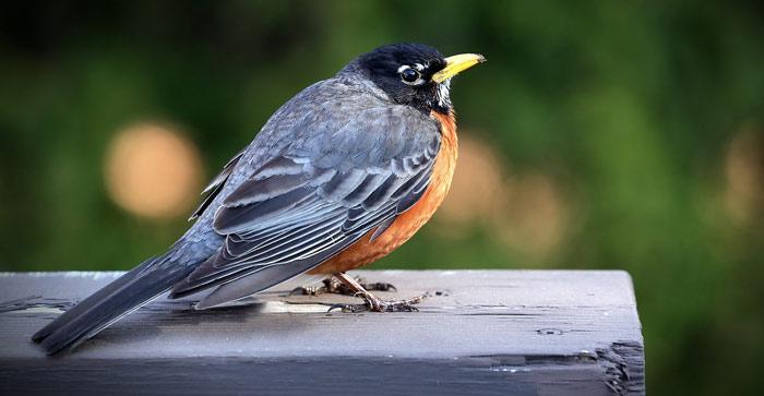 merle-bird